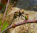 Common Darter. Sympetrum striolatum. - Flickr - gailhampshire.jpg
