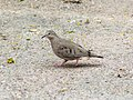 Common Ground Dove, Bentsen - Rio Grande Valley State Park, Texas 1.jpg