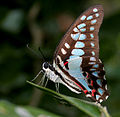 Common Jay (Graphium doson) in Hyderabad, AP W IMG 0485.jpg
