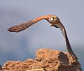 Common Kestrel Flight.jpg