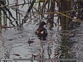 Common Moorhen (Gallinula chloropus) (15706656898).jpg
