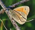 Common Ringlet (Coenonympha tullia) (9073076430).jpg