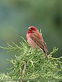 Common Rosefinch (Carpodacus erythrinus) (48515368736).jpg