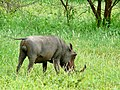 Common Warthog (Phacochoerus africanus) male ... (51131207411).jpg