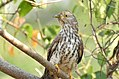 Common hawk cuckoo (Hierococcyx varius) 8.jpg