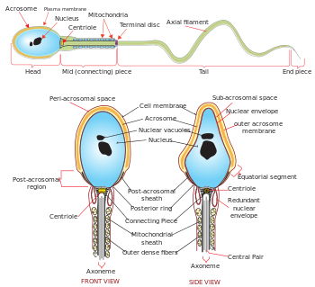 Complete diagram of a human spermatozoa en.svg