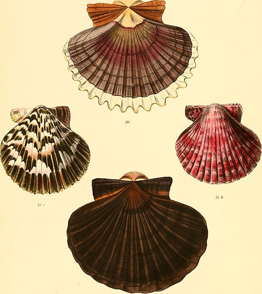 Conchologia iconica, or, Illustrations of the shells of molluscous animals (1855) (20489853700)
