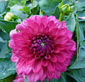 Concours International du Dahlia 2012 Parc Floral Paris 3.JPG