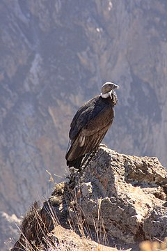 Condor pearched - panoramio.jpg