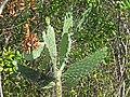 Consolea sp. (semaphore cactus) (San Salvador Island, Bahamas) 1 (15581768159).jpg