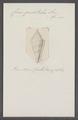 Conus gradatulus - - Print - Iconographia Zoologica - Special Collections University of Amsterdam - UBAINV0274 086 07 0072.tif