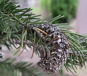 Gall adelgid - The end of a gall that had partial infection. Growth continues, but it is convoluted.