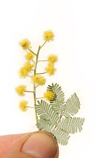 Acacia baileyana - Image: Cootamundra leaves and blossom