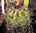 Copiapoa echinata fma variegata.jpg