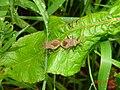 Coreus marginatus 136058355.jpg
