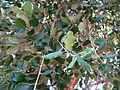 Cork oak in Israel - leafs -2.JPG