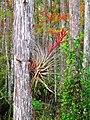 Corkscrew - epiphyte growing on bald cypress.jpg