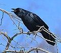 Corvus ossifragus Mississauga2.jpg