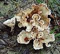 Cotylidia diaphana (Schwein.) Lentz 628557.jpg