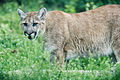 Cougar Walking in Grass (19216639846).jpg