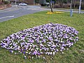 Council crocuses - geograph.org.uk - 1769804.jpg