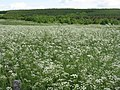 Cow Parsley - geograph.org.uk - 843253.jpg