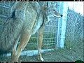 Coyote at the One-Way Gate (11425650324).jpg