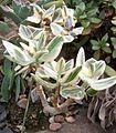 Crassula ovata cv Tricolor.jpg