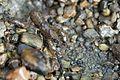 Crayfish - Flickr - GregTheBusker.jpg