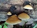 Crepidotus mollis 12928257.jpg