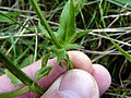 Crepis setosa leaf (07).jpg