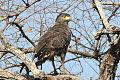 Crested Serpent-Eagle.jpg