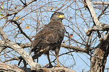 Crested Serpent-Eagle.jpg