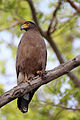 Crested Serpent Eagle - Spilornis cheela.jpg