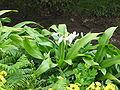 Crinum moorei (Habitus).jpg