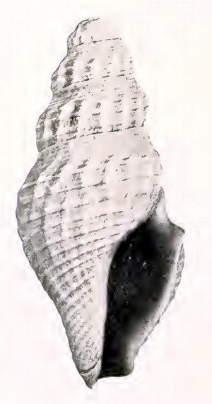 Crockerella - Shell of Crockerella philodice