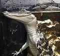 Crocodile Crocodylus niloticus IMG 6966.jpg