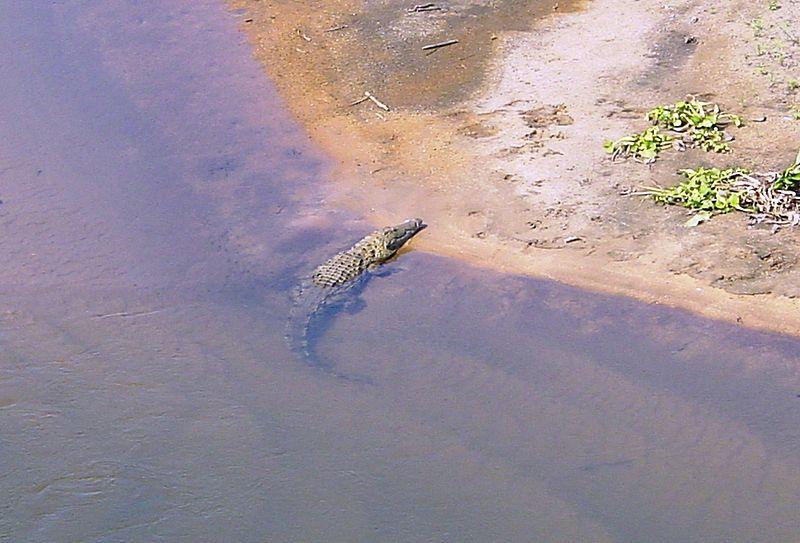 Datei:Crocodile river Kruger Park01.JPG