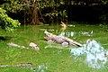 Crocodiles, Balikpapan, Indonesia.jpg