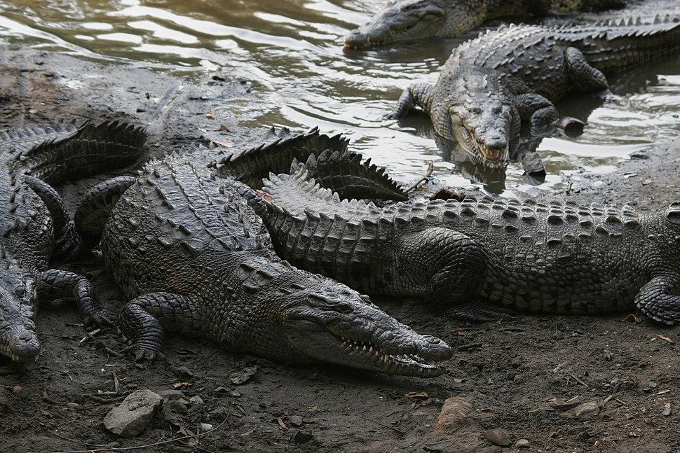Crocodylus acutus 05