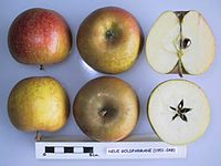 Cross section of Neue Goldparmane, National Fruit Collection (acc. 1951-048).jpg