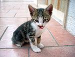Cucciolo gatto Bibo.jpg