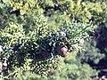 Cupressus sargentii foliage.JPG
