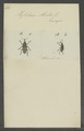 Curculio - Print - Iconographia Zoologica - Special Collections University of Amsterdam - UBAINV0274 029 04 0093.tif