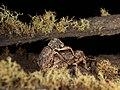 Curculionidae sp. (37836531491).jpg