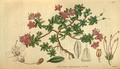 Curtis's Botanical Magazine, Plate 3106 (Volume 58, 1831).png