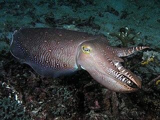 Cuttlefish order of molluscs