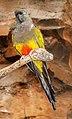 Cyanoliseus patagonus - Maroparque 01.jpg