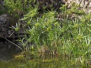 180px-Cyperus.papyrus%2801%29.jpg