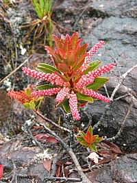 Cyrilla racemiflora Roraima